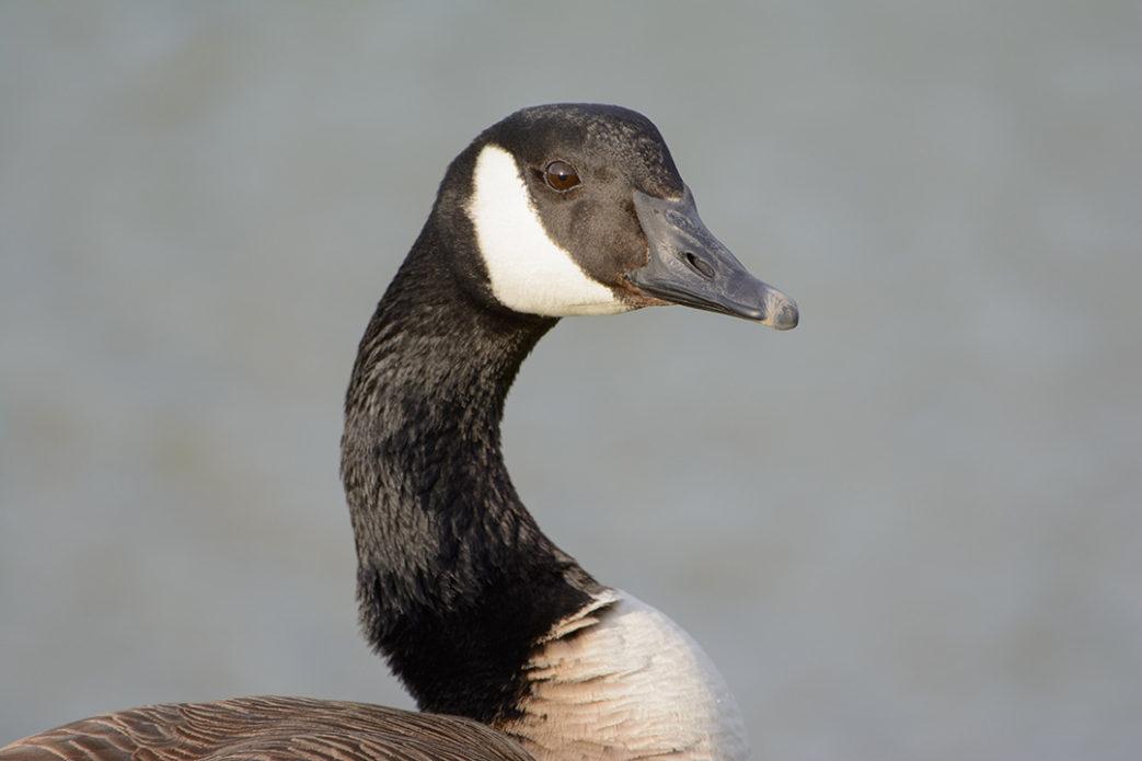 Goose Cull
