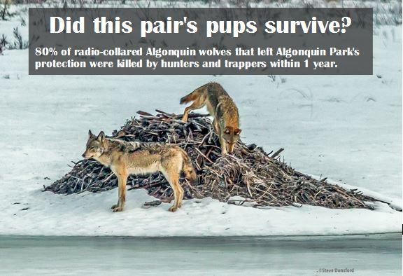 Algonquin wolves